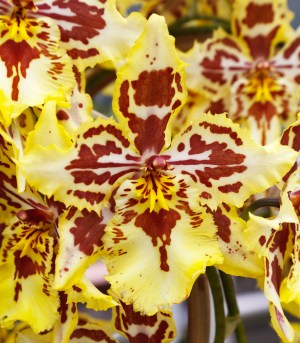Tiger Orchid Facts
