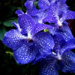Vanda you will commonly see sold as house plants