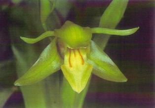 Motley's Orchid - Coelogyne motleyi