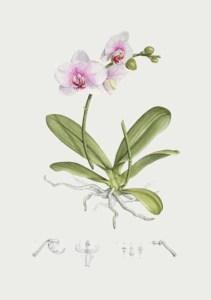 Phalaenopsis Reykjavik