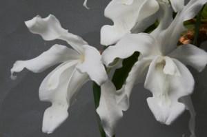 Coelogyne cristata var. alba