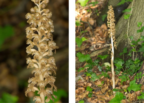 birds nest orchid