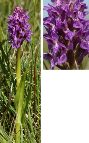 Early Marsh Orchid ssp pulchella