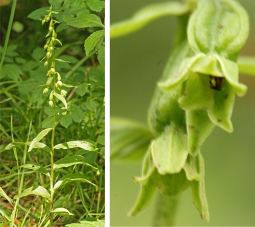 Green flowered helleborine