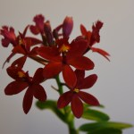 Epidendrum 'Ballerina'