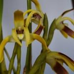 Maxillaria triloris