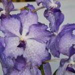 Vanda Blue Magic