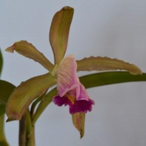 C. venosa x C. dormaniana