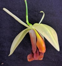 Coelogyne Bird in Flight, close up of flower