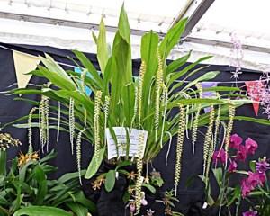Dendrochilum latifolium Grace Trebble