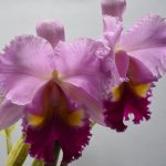 Unidentified cattleya hybrid.