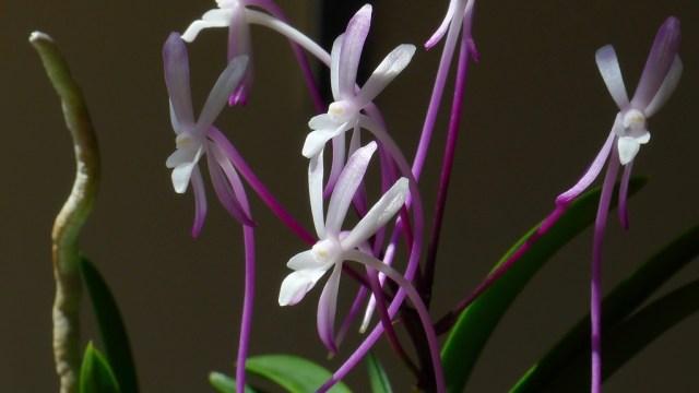 Neofinetia Shutenno fiori