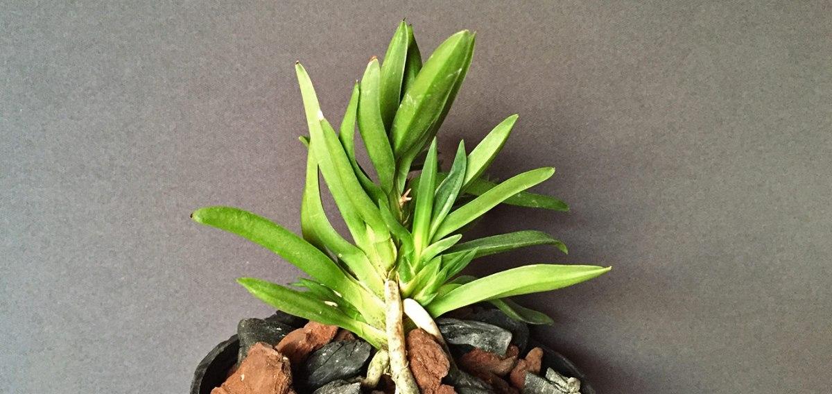 Orchidee del Giappone: il Leone di Amami