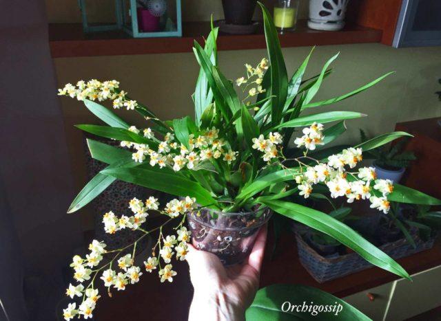 Oncidium twinkle prima fioritura