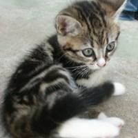 köpa kattunge