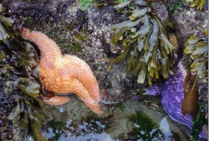 Seastar in tidepool