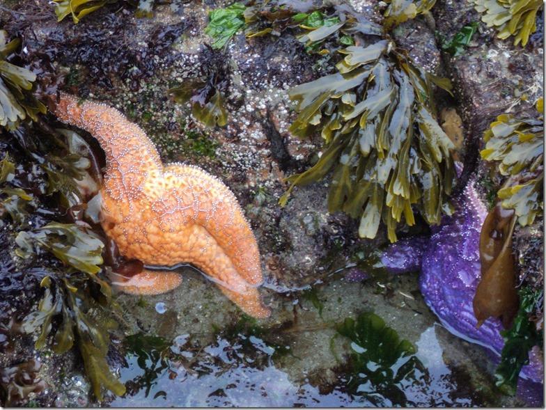 Salish sea seastar tidepool