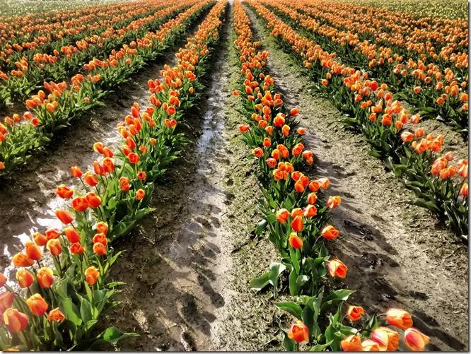 Orange tulips in rows in a muddy field