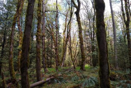 A forest with trees, ferns and moss with sunlight filtering through
