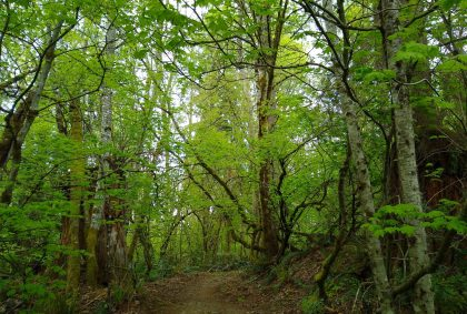 a trail passes through a green, shady forest