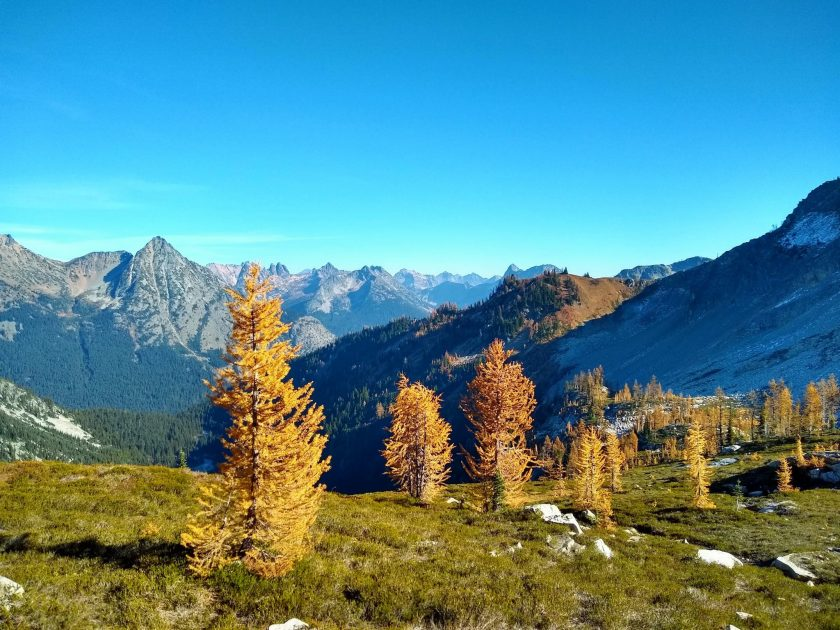 Golden larch trees are dispersed in a green meadow in the foreground on the maple pass loop. In the distance are high mountains against a blue sky