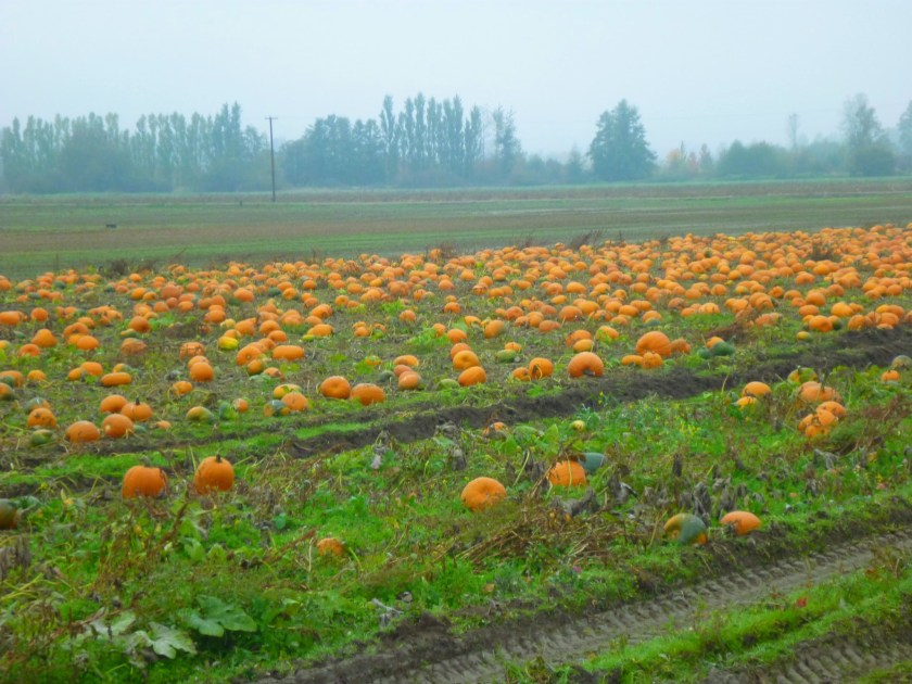 A field of orange pumpkins on a foggy morning. There is a green and brown field behind them and in the distance tall trees.