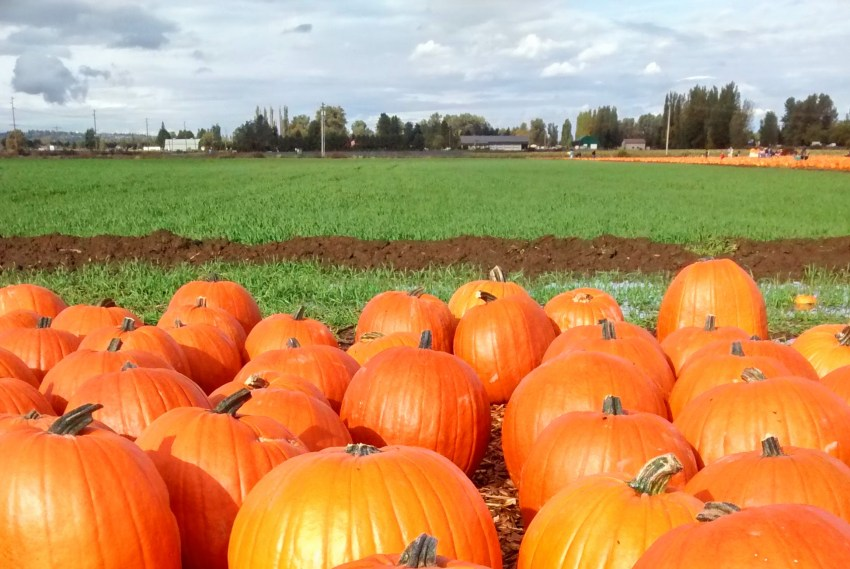 A bunch of big orange pumpkins in the foreground. In the background is a green field and a more distant group of pumpkins. In the far distance are some buildings and trees against a cloudy sky