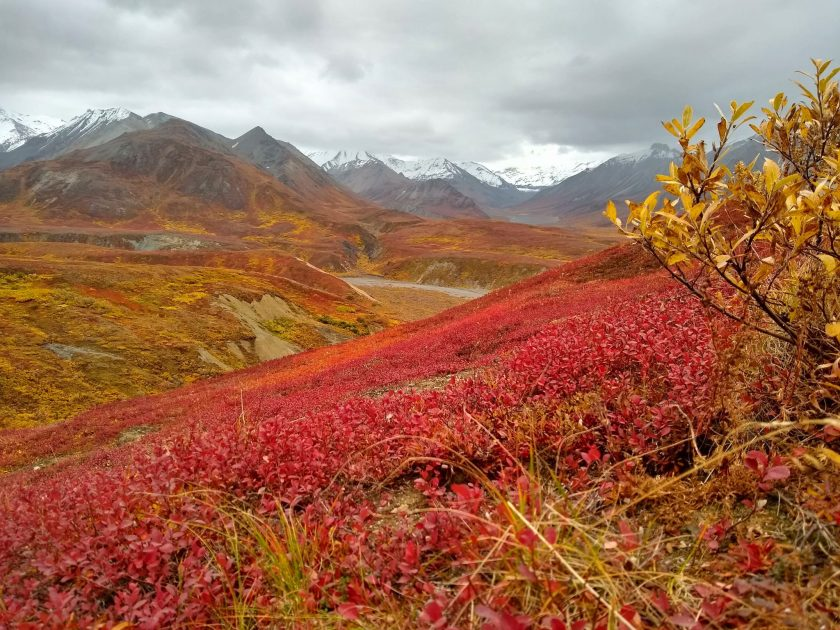 Bright red and yellow fall colors of bushes in Denali National Park. In the background are snow covered mountains and an overcast sky.