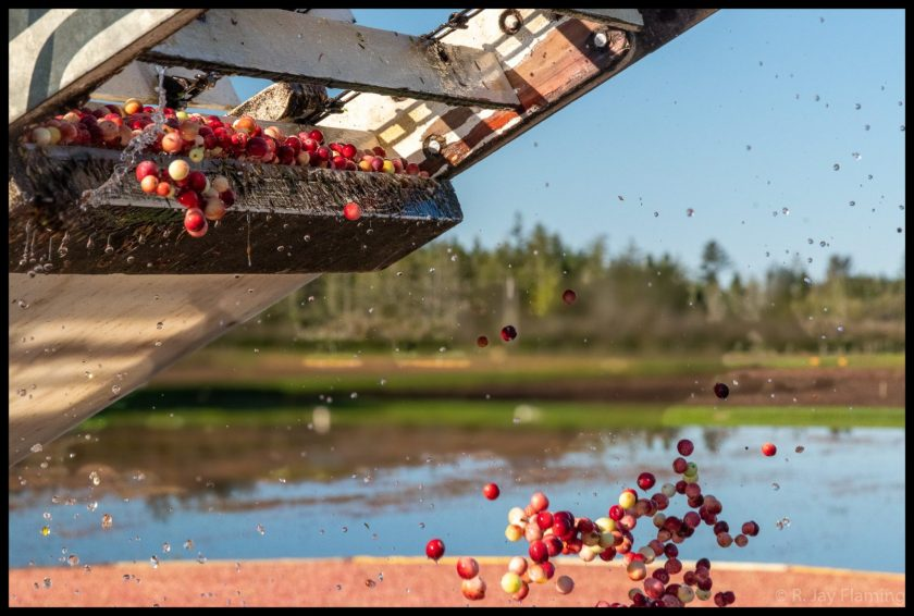 farm equipment drops bright red cranberries into a crate for transport to market. In the background a flooded Washington cranberry bog is seen on a sunny day