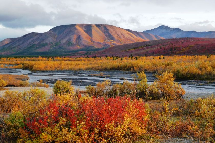 Setting sun on bright yellow, orange and red bushes in the tundra in Denali National Park in September. A river flows between the bushes and there are mountains in the distance