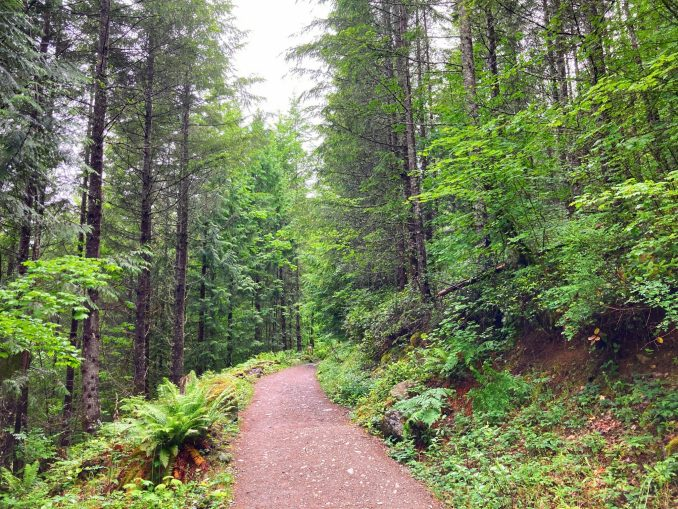 Green trees, ferns and berry bushes line both sides of a dirt trail on the Teneriffe Falls trail.