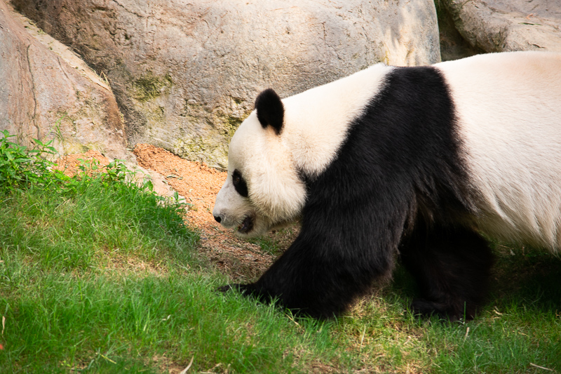 panda-watching ocean park