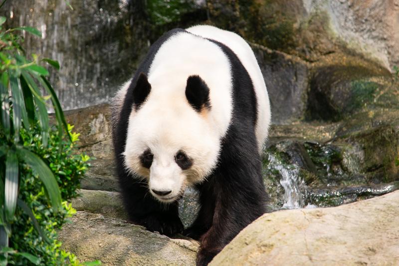 things to do ocean park - see pandas