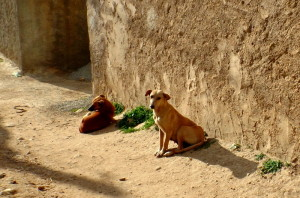 Some village dogs, taken from a distance as I didn't want to be seen taking pictures of dogs.
