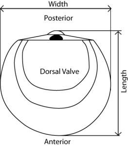WL dorsal valve