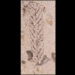 Climacograptus_typicalis_250pxB