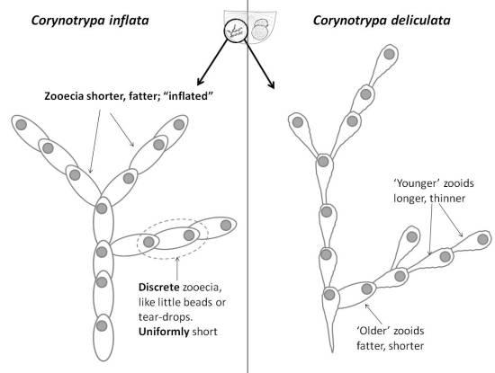 Corynotrypa_genus