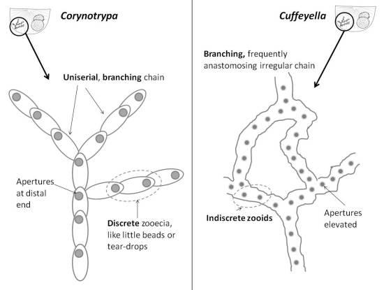 Corynotrypa_v_Cuffeyella