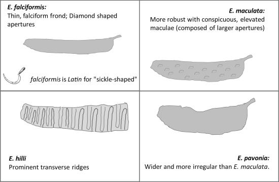 Escharopora_species