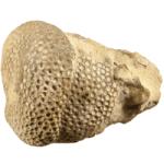 Calapoecia_huronensis_250pxW