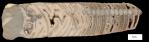Treptoceras_duseri_cutaway