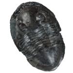 Isotelus maximus 250 white