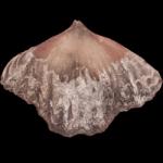 Zygospira cincinnatiensis_250pxB