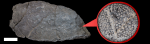 ceramoporella flabellata 800