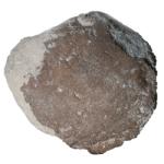 Cycloconcha milleri 250 white