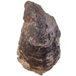 corallidomus concentricus 250 white