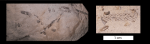 climacograptus typicalis 800