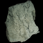 mastigograptus tenuiramosus 250 black
