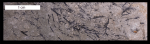 mastigograptus tenuiramosus 800