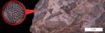eridotrypa briarus 800